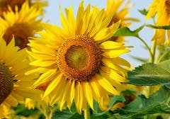 A cluster of sunflowers in the wild on a bright day