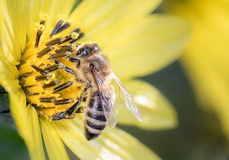 Close-up photograph of Lemon Queen
